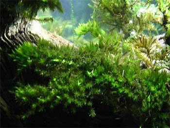 Мох ключевой (Fontinalis antipyretica).  Аквариумные растения. Описание растений для аквариумов