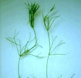Нителла или Блестянка гибкая (Nitella flexilis).  Аквариумные растения. Описание растений для аквариумов