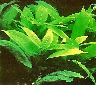 Номафила прямая или Лимонник (Nomaphila stricta или Nomaphila corymbosa)