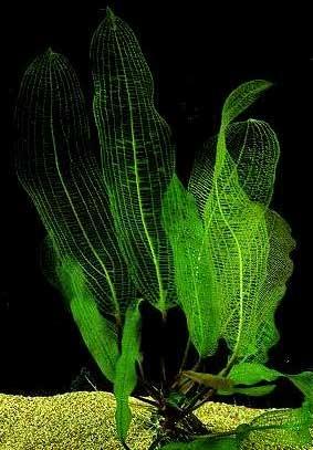 Апоногетон мадагаскарский, сетчатый (Aponogeton madagascariensis, fenestralis)