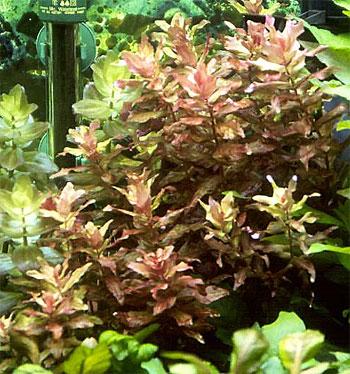 Ротала крупнотычинковая или ротала краснолистная (Rotala macrandra).  Аквариумные растения. Описание растений для аквариумов