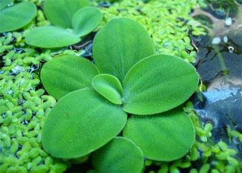 Пистия или Водяной салат (Pistia stratiotes).  Аквариумные растения. Описание растений для аквариумов