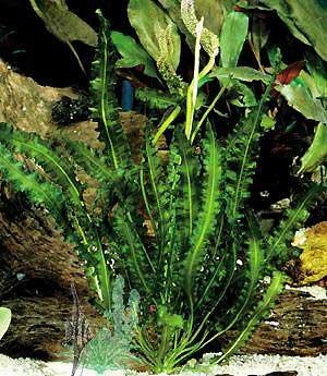 Апоногетон кожистолистный (Aponogeton longiplumulosus)