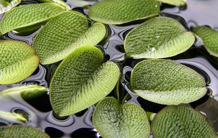 плавающие аквариумные растения описание и фото