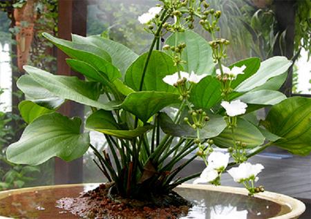 Аквариумные растения: фото с названиями и описанием. Какие растения лучше для аквариума? Растения для аквариума живые и искусственные. - Страница 3 81-1