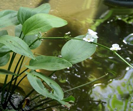 Аквариумные растения: фото с названиями и описанием. Какие растения лучше для аквариума? Растения для аквариума живые и искусственные. - Страница 3 81-2