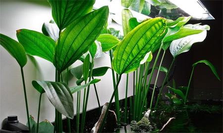 Эхинодорус лопатолистный (широколистный, палефолиус) (Echinodorus palaefolius)