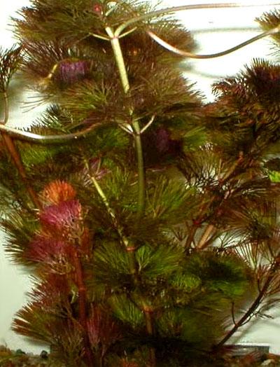 Кабомба южная (Cabomba australis).  Аквариумные растения. Описание растений
