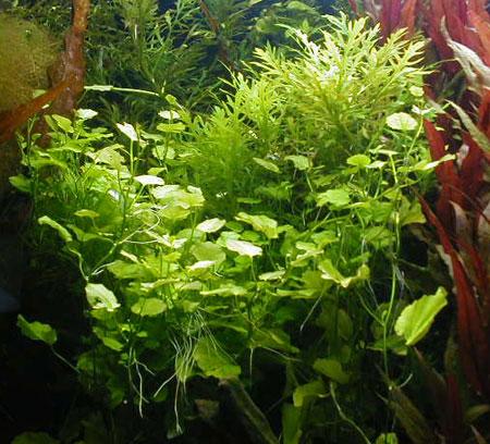 Кардамин, сердечник японский, сердечник лировидный (Cardamine lyrata).  Аквариумные растения. Описание растений