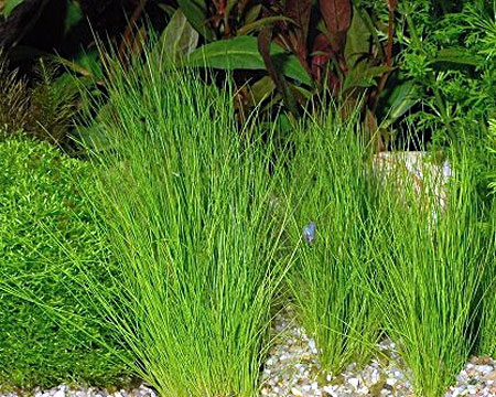 http://www.aquariumhome.ru/images/content/plant/87.jpg