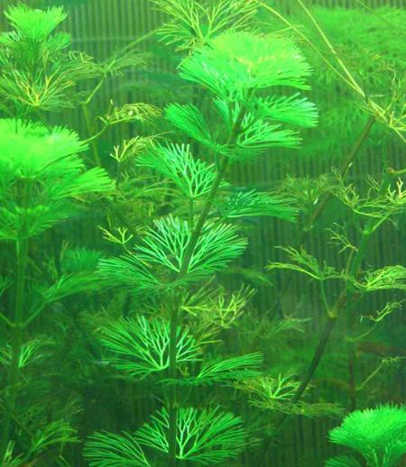 Кабомба спиральнолистная (Cabomba caroliniana tortifolia).  Аквариумные растения. Описание растений
