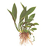 Анубиас Афцели (Anubias afzelii).  Аквариумные растения. Описание растений для аквариумов