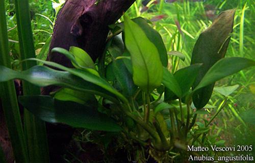 Анубиас Бартера узколистный (Anubias barteri var. Angustifolia).  Аквариумные растения. Описание растений