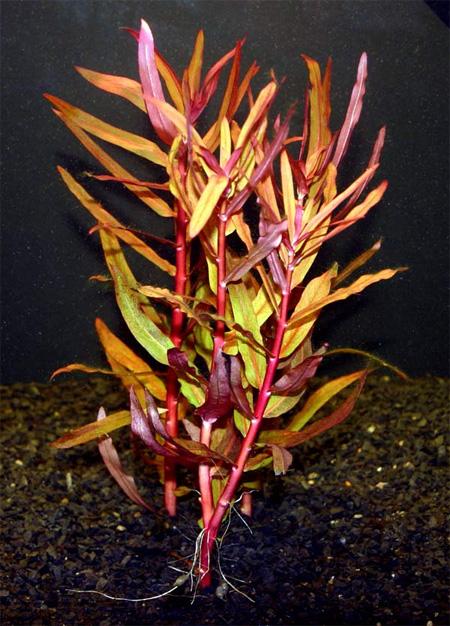 Аммания изящная, Аммания грацилис (Ammannia gracilis).  Аквариумные растения. Описание растений