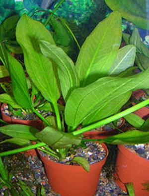 Аквариумные растения: фото с названиями и описанием. Какие растения лучше для аквариума? Растения для аквариума живые и искусственные. - Страница 3 99