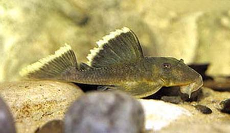 Паранциструс магнум, L-047 (Parancistrus sp. L-047, Baryancistrus sp. L-047), L