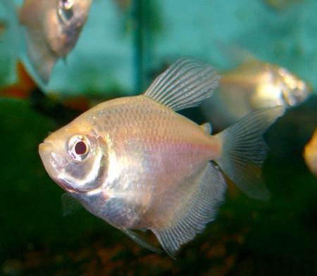 Les Poissons d'Aquarium fabriqués 9420