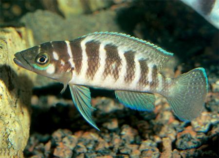 ����������� ��������������, ����������� ������� (Neolamprologus cylindricus, Lamprologus cylindricus), L