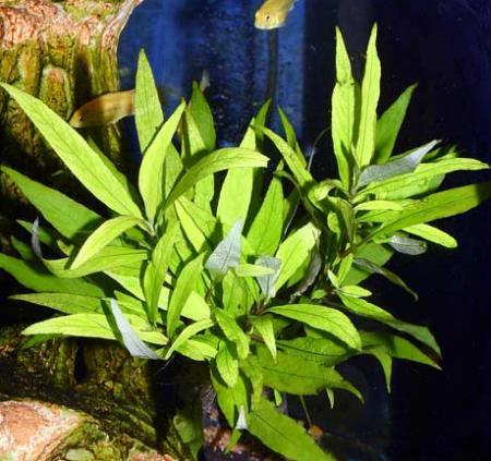 лимонник фото растение