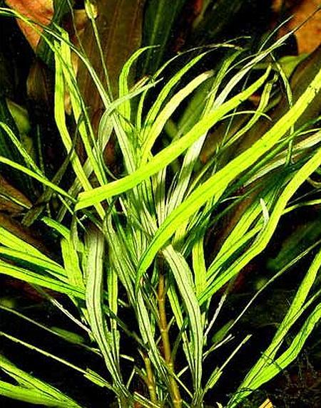 Растение Растущий карандаш Альпийские луга чернографитные 3шт RK-01-03-11