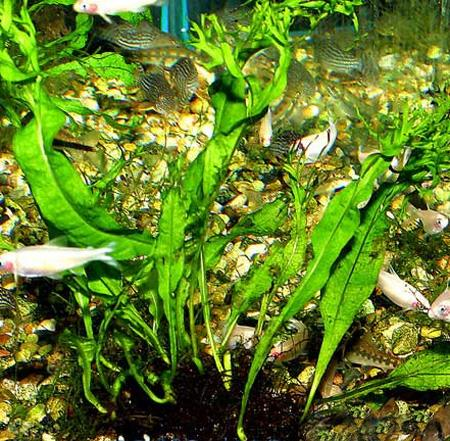 Как сажать папоротник в аквариум 11