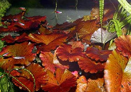 "������ ������� (Nymphaea sp. ""Red""), M"