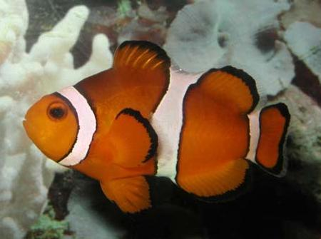 Клоун перкула, амфиприон клоун, оранжевый амфиприон, рыба-клоун (Amphiprion percula), M