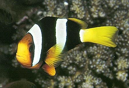 ����� ������ ���������� (Amphiprion clarkii), S