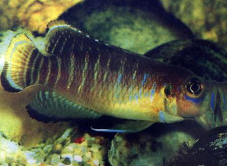 ����������� ��������� (Neolamprologus brevis), S
