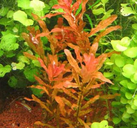 Людвигия наклоняющаяся, Людвигия инклината (Ludwigia inclinata), M