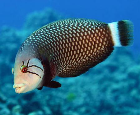 аквариумная рыба-нож фото