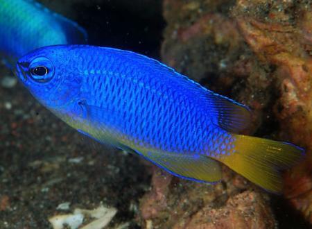 ласточка фото рыба