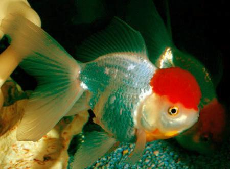 Фото беременной золотой рыбки 80