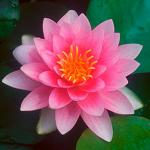 Кувшинка Голландия розовая (Nymphaea Hollandia pink), M