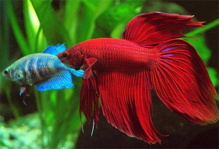 фото самка петушок рыбка