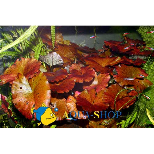"Нимфея лотус ""Красная"" (Nymphaea lotus sp. ""Red""), S"