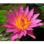 Кувшинка Куин оф Сиам розовая (Nymphaea Queen of Siam pink), M